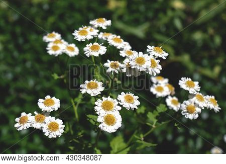 White Flowers In The Field Illuminated By The Sun. Flowering Of Daisies. Oxeye Daisy, Leucanthemum V