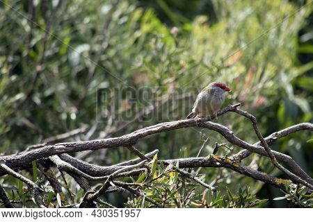 The Red Browed Finch Is Mainly Grey With A Red Beak And Red Strip Over Its Eyes