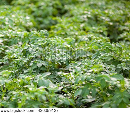 Rows Of Potatoes In The Home Garden. Preparation For Harvesting. Potato Plants In Rows On A Kitchen