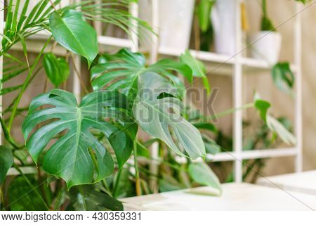 Green Leaves Of Monstera Or Monstera Deliciosa In Dark Colors, Rainforest Background Or Green Decidu