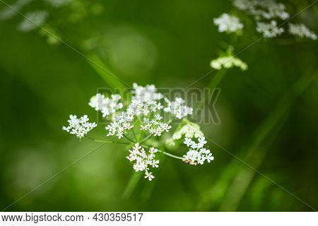 Umbrella Inflorescence White Flowers Close-up On A Blurred Natural Green Background. Hemlock White F