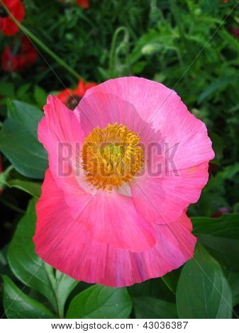 beautiful flower of the poppy