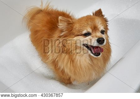 A Happy Red Dog With A Thick Coat Is Going To Take A Bath. German Pomeranian In A White Bath With Wa