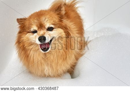 Happy Red Dog With A Thick Coat Is Going To Take A Bath. German Pomeranian In A White Bath With Wate