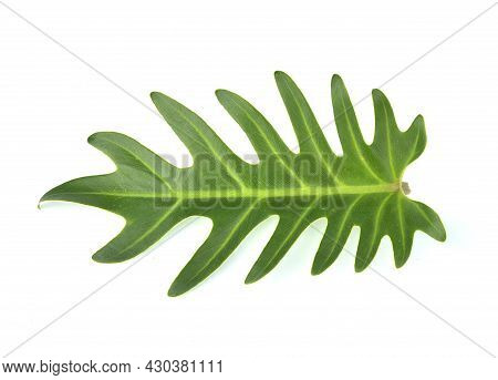 Top View Of Philodendron Xanadu Isolated On White Background