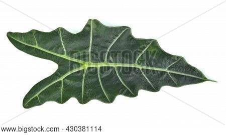 Top View Of Alocasia Sanderiana Bull Isolated On White Background