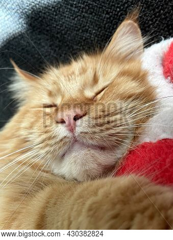 Red Main Coon Cat Sleeping Between Clothes
