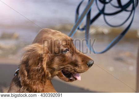 Portrait Of A Young Three Month Old Irish Setter Puppy Close-up On The River Bank On A Sunny Day