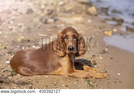 Young Three Month Old Irish Setter Puppy Close-up Lying On The River Coast On A Sunny Day