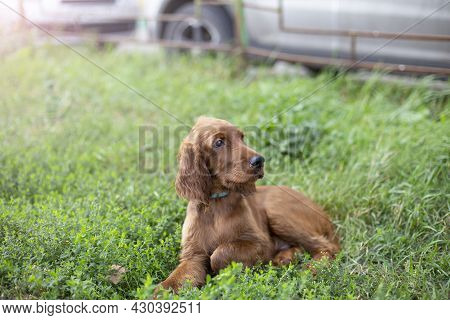 Young Three Month Old Irish Setter Puppy Close-up In The Grass On The Street