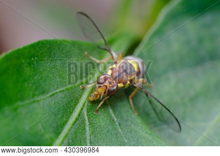 Macro Photo Of Melon Fly Insect On The Plant Leaf. It Is A Fruit Fly Of Tephritidae Family. It Is A