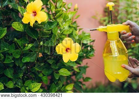 Woman Using A Sprayer With Anti-aphid Liquid To Hibiscus