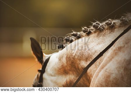 A Rear View Of The Scruff Of A Dapple Horse With A Beautiful Braided Mane And A Bridle On Its Muzzle
