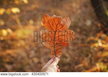 Beautiful Autumn Leaf In Woman Hand In Evening Sunlight. Autumnal Background. Woman Holding Beautifu