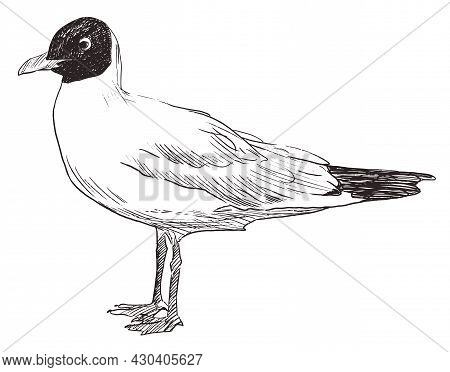 Sketch Of Standing Seagull Hand Drawn Vector Doodle Illustration
