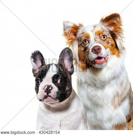 Head shot of a two dogs, puppy french bulldog and australian shepherd dog