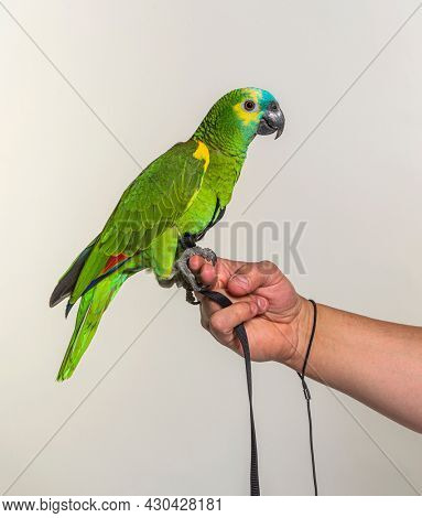 Side view of Turquoise-fronted amazon hold in a human hand