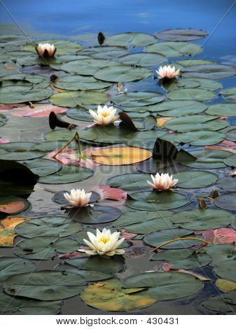 Water-lilies On Lake Bled, Slovenia