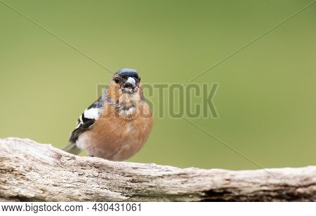 Close Up Of A Common Chaffinch (fringilla Coelebs) Perched On A Wooden Post, England.