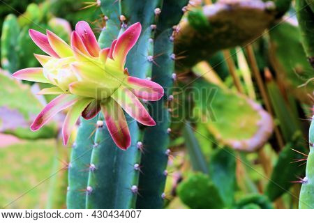 Flower Blossom On An Organ Pipe Cactus Plant Which Is Native To The Sonoran Desert Taken On An Outdo
