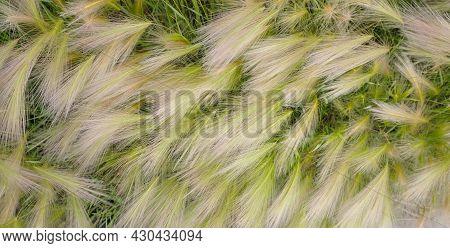 Fluffy Grass Close Up, Maned Barley, Eco Background. Summer Nature Wallpaper.