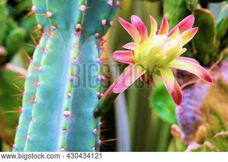 Flower Blossom On An Organ Pipe Cactus Plant Taken At An Outdoor Patio In A Manicured Drought Tolera