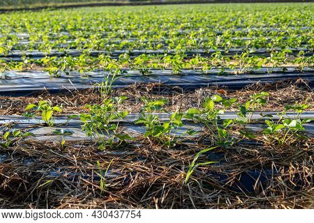 Strawberry Plantation Under Mulch Foil And With Drip Irrigation. Plants Growing Under Black Plastic