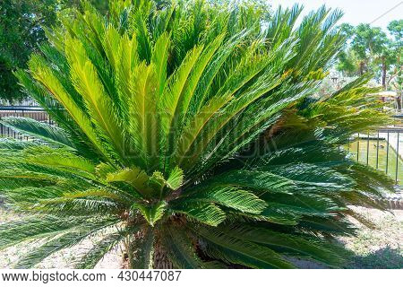 Palm Plant Called Cica In The Garden Of Nations Park In Torrevieja. Alicante, On The Costa Blanca. S