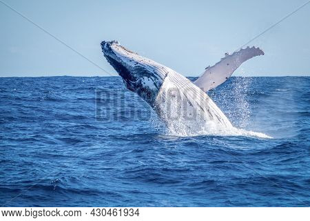 Huge Humpback Whale Jumping Above Water Surface