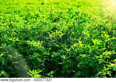 View At Well-cultivated Medicago Field Summer Time Against Sunlight Closeup