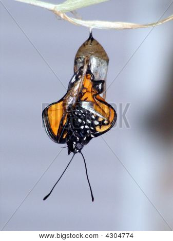 Buttfly Cocoon