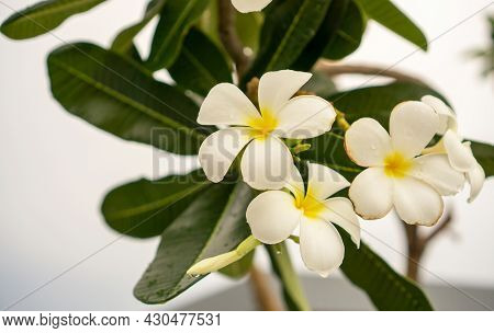 Branch Of White Petals Plumeria Flower Plant Blooming With Dew Droplets Of Water Know As Temple Tree