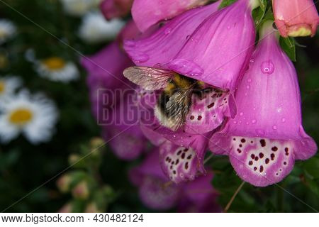 Digitalis Purpurea, A Bee Crawls Into A Pink Foxglove After A Rain Shower