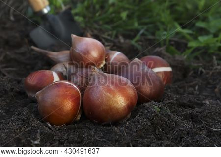 Planting In The Spring Or Digging Up Tulip Bulbs In The Fall Or In The Garden Or Bed. The Concept Of