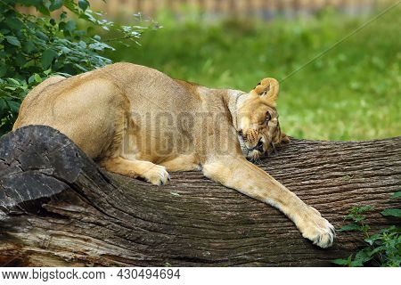 The Asiatic Lion (panthera Leo Leo), A Lying Lioness Hugging A Tree Trunk. A Rare Indian Lion In Cap