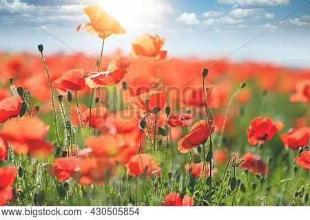 Poppy Field In Summer, Selective And Soft Focus On Poppy Flower, Beautiful Nature