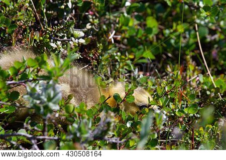 A Young Gosling Hiding Among Tundra Plants In The Arctic
