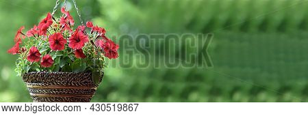 Banner Hanging Pots With Blooming Red Petunias Flowers On A Green Background. Ampel Plant. Design In