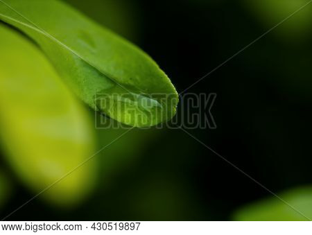 Macro Rain Drop On Green Leaf With Sun Shining In Evening. Drops Of Dew With Transparent Water On A