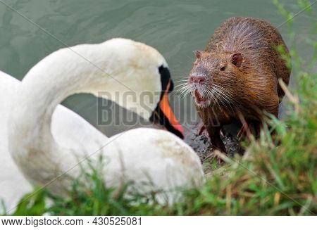 Fighting Animals For Territory. Nutria And Swan On The River Bank. Fight Between White Swan And Nutr