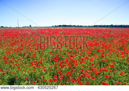 Poppy Flowers In The Tuscan Countryside In The Afternoon In Italy