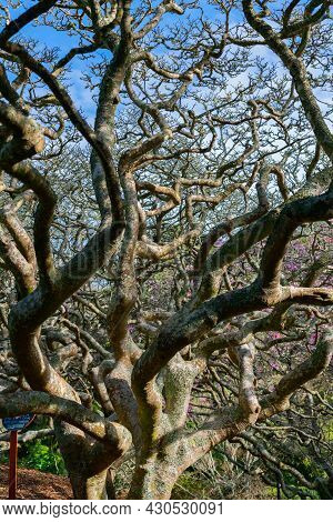 Wriggly Twisted Trunk And Branches Of Leafless Magnolia Tree