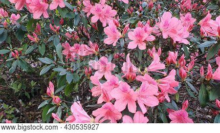 Salmon Pink Azaleas, Mt Cootha Botanical Gardens, Brisbane Australia