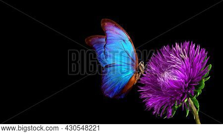 Blue Tropical Morpho Butterfly On Purple Aster Flower Isolated On Black. Copy Space
