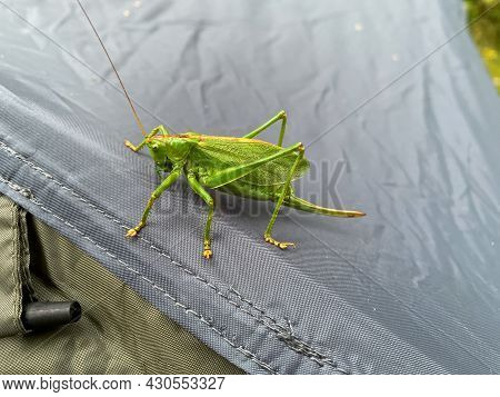 Large Green Grasshopper, Locust Sits On A Tent. A Pest And Destroyer Of Fields With A Large Sword. B