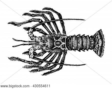 Crayfish, Rock Lobsters. Achelata, Palinuridae. Seafood Collection. Healthy Lifestyle, Delicious Foo