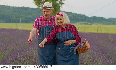 Mature Elderly Grandfather Grandmother Farmers Gathering Lavender Flowers On Summer Field. Concentra