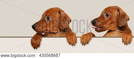 Two Small, Cute Puppies With Paws Over A White Sign. The Puppies Look To The Side At The Place For R