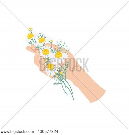 Female Hand Holding Chamomile Flowers. Simple Woman Hand With Small Flowers And Green Leaves Isolate