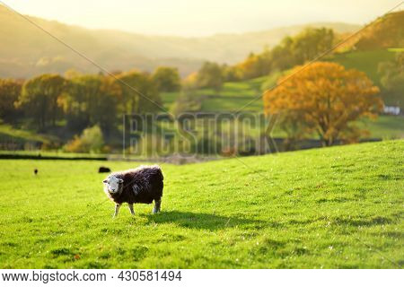 Sheep Marked With Colorful Dye Grazing In Green Pastures. Adult Sheep And Baby Lambs Feeding In Lush